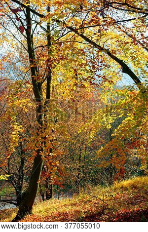 Forest In Fall Foliage. Beautiful Nature Background On A Sunny Autumn Day. Colorful Scenery In The B
