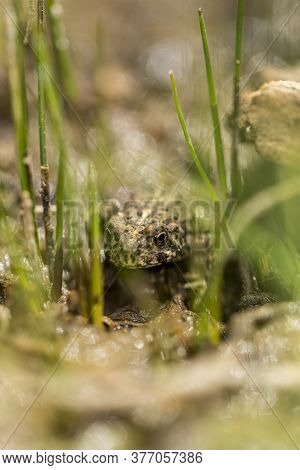 Small Warty Green Toad Hiding In A Grassy Wetland Area