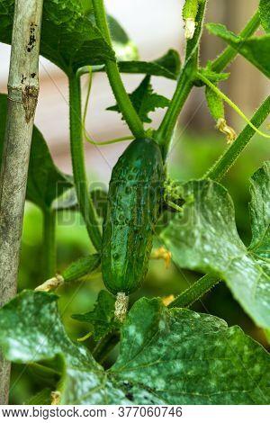 Cucumber Gherkin Fruit Cucumis Sativus Plant Hanging On The Trellis In Summer Kitchen Garden