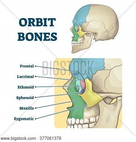 Orbit Bones Labeled Educational Anatomical Division Scheme Vector Illustration. Face Skeleton Zones