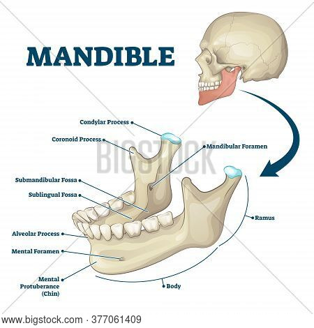 Mandible Jaw Bone Labeled Anatomical Structure Scheme Vector Illustration. Educational Bone Titles D