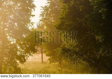 Morning Mist. Sunlight Penetrates Through Birches And Coniferous Trees