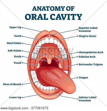 Oral Cavity Anatomy With Educational Labeled Structure Vector Illustration. Dental Medical Scheme Fo