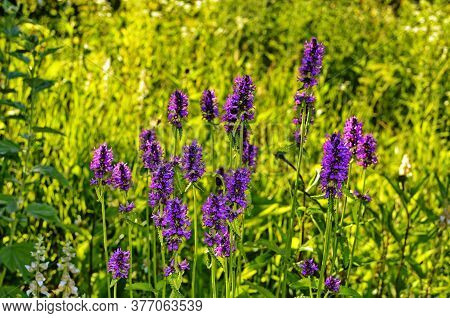 Betony Flowers (stachys Officinalis Or Betonica Officinalis), Is Commonly Known As Common Hedgenettl