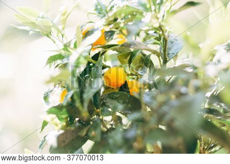 Close-up Of The Yellow Ripe Kumquat Fruit On The Branches Of The Tree With A Sredi Of Foliage, In Dr