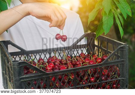 A Farmer Holds A Box Of Freshly Picked Red Cherries In The Garden. Fresh Organic Fruits. Summer Harv