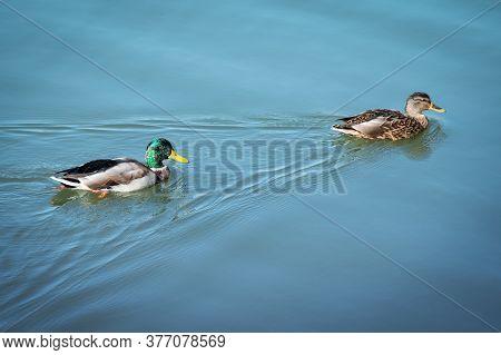 Ducks Swimming. Couple Of Mallard And Drake Floating On Blue Water. Two Wild Swim Duck Bird. Male An