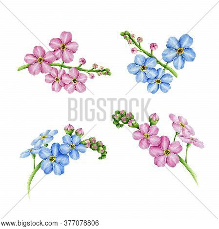 Pink And Blue Forget-me-not Flowers Watercolor Illustration Set. Hand Drawn Myosotis Meadow Herb Bot