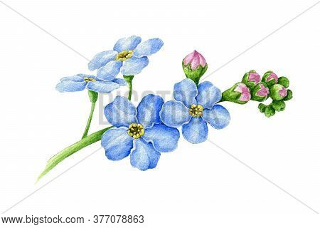 Blue Forget-me-not Flower With Buds Watercolor Illustration. Hand Drawn Myosotis Meadow Herb Botanic
