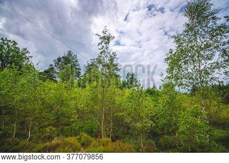 Birch Trees In Wilderness Nature In Scandinavia Under A Cloudy Sky