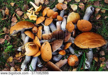 Brown Cap Boletus (leccinum Versipelle) And Boletus Edulis (porcini). Fresh Forest Mushrooms On The