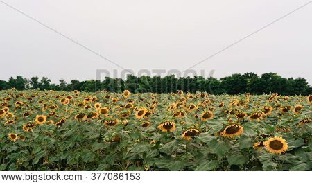 A Large Green Field Planted With Yellow Sunflowers. Lots Of Yellow Sunflowers, Sunflower Seeds. Agri