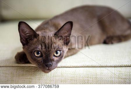 Burma Cat Lying On Coach, Cute Brown Burmese Kitten Looking At Camera Indoor. Portrait Of Playful Bu