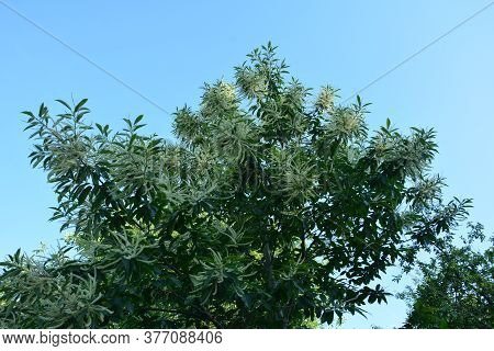 Inflorescences Or Chestnut Catkins, Summer.sweet Chestnut, Catkins And Foliage