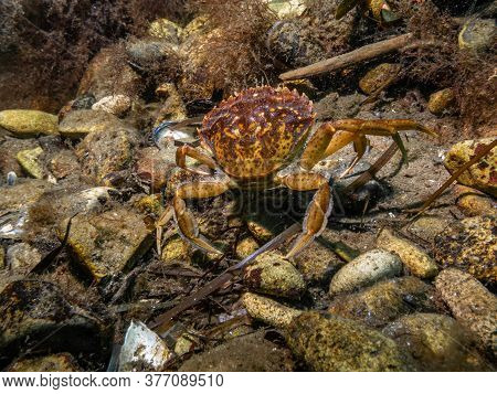 A Closeup Picture Of A Crab Underwater. Picture From Oresund, Malmo In Southern Sweden.