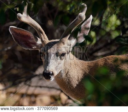 Portrait Of A Young Buck Showing The Velvet On His Growing Horns.