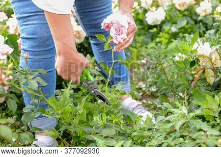 A Female Gardener In Blue Jeans In The Garden Cuts A Blooming Pink Rose With A Pruner
