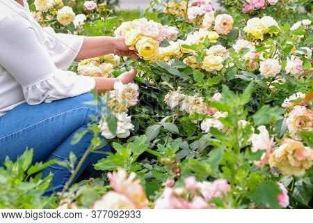 A Woman Gardener In Blue Jeans Takes Care Of Flowers In The Garden And Cuts A Beautiful Pink Rose In