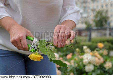 A Female Gardener Prepares Rose Cuttings For Seedlings Holds A Flower In Her Hands And Cuts The Rose