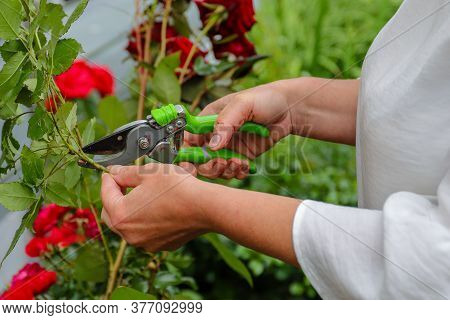 A Female Gardener In A White Blouse In The Garden Cuts Off A Blooming Red Rose On The Street With A