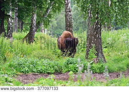 The American Bison Or Simply Bison (bison Bison), Also Commonly Known As The American Buffalo Or Sim