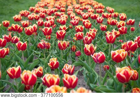 Summer Holidays. Beauty Of Blooming Field. Famous Tulips Festival. Nature Background. Group Of Brigh