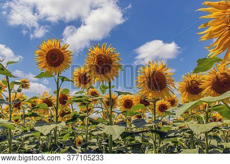 Sunflower Natural Background. Sunflower Seeds. Sunflower Field, Growing Sunflower Oil Beautiful Land