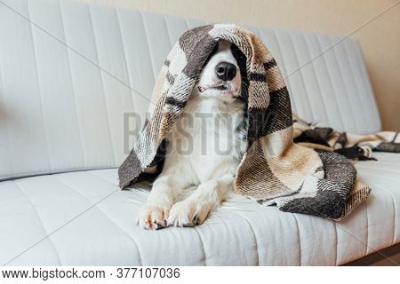 Funny Puppy Dog Border Collie Lying On Couch Under Plaid Indoors. Lovely Member Of Family Little Dog