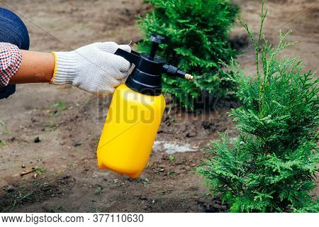 Gardener Hand With Garden Spray. Pest Protection And Conifer Tree Care