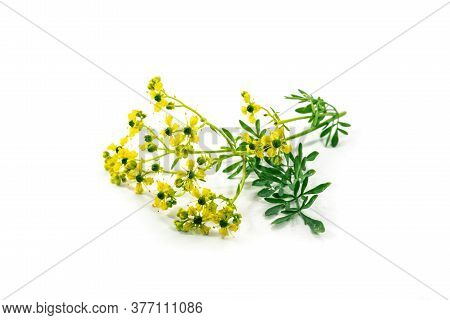 Blooming Common Rue Or Herb-of-grace (ruta Graveolens) With Small Yellow Flowers, Aromatic Herb And