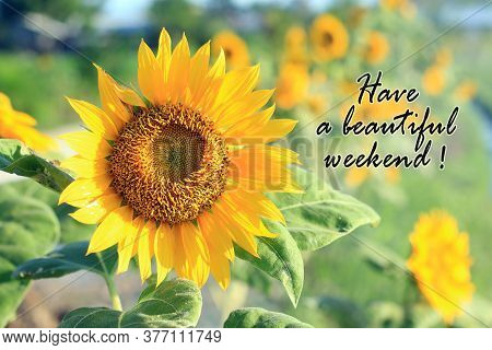 Have A Beautiful Weekend.  Card And Greeting Weekend Concept With Beautiful Sunflower Blossom In The
