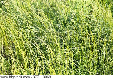 Background Of Grass Fescue ( Festuca) In The Rays Of The Setting Sun, The Plant Belongs To The Loose