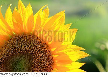 Sunflower Close Up. Sunflower Petals Pattern Background. Frame Composition Of Sunflower In Crop Back
