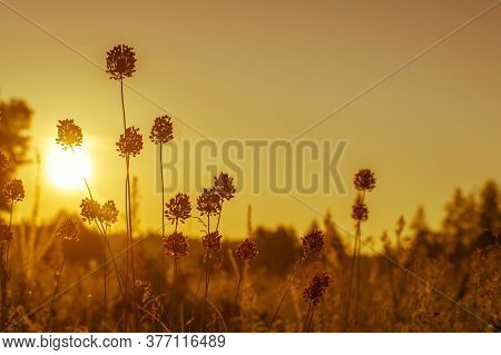 Wild Garlic Stalks With Ripening Seeds In A Meadow In The Golden Sunrise. Natural Background.
