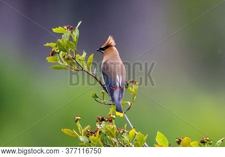 A Cedar Waxwing Perched In A Tree.
