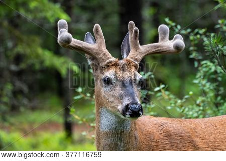 A Mule Deer In Glacier National Park.