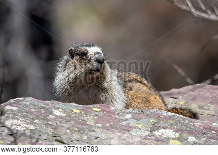 A Hoary Marmot In Glacier National Park.