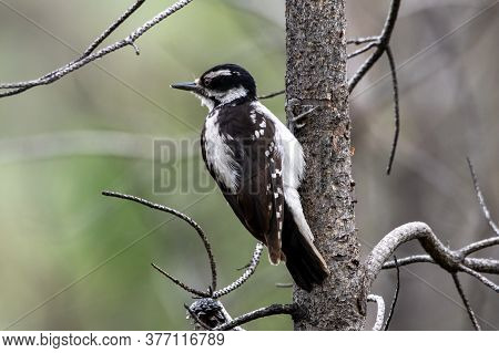 A Hairy Woodpecker On A Tree Looking For Food.