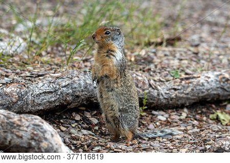 A Ground Squirrel Stands On Back Legs.