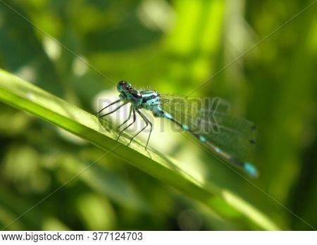 Blue Dragonfly With Transparent Wings Sits On A Blade Of Grass On A Blurred Green Background Of Gras