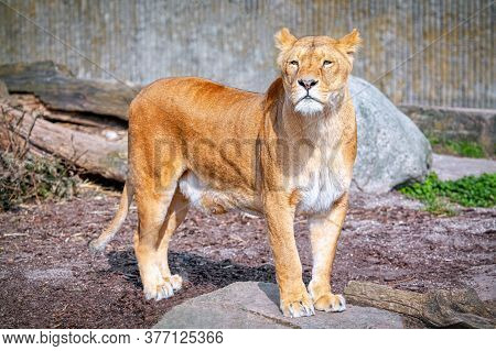 Young Lioness Looks Away . Lioness With Sad Face