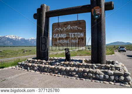 Jackson, Wyoming - June 27, 2020: A Black Labrador Retreiver Dog Poses At The Grand Teton National P
