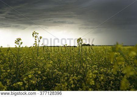 A Blooming Yellow Canola Field At Sunset With A Summer Storm Approaching In Rocky View County Albert