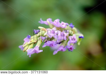 Flower Of Red Holy Basil Against A Green Natural Out Of Focus Background. High Quality Photo