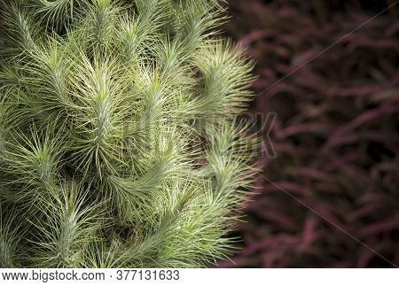 Close-up A Group Of Beautiful Green Tillandsia, Indoor Plants That Use For Decoration The Garden By