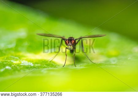 Flying Ant / Flying Termite Close Up Macro Shot. Flying Ant Having Water Drops On Its Mouth - Odonto