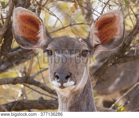 Female Greater Kudu (tragelaphus Strepsiceros) Closeup Head Portrait With Large Ears And Trees In Th
