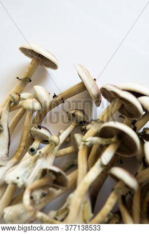 Fungi Hallucinogen. Growing Albino A Strain. Medical Research Of Psilocybin