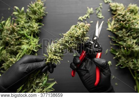 Mans Hands Trimming Marijuana Bud. Trim Before Drying. The Sugar Leaves On Buds.