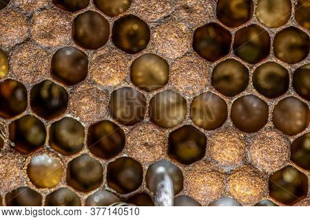 Honey Bee Beehive Wax Frame With Bees Breed, Eggs And Worms Next Generation
